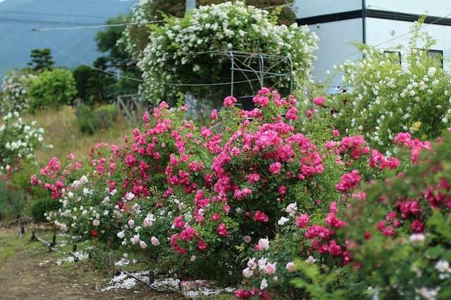 IMG_5570安曇野のバラのお宅