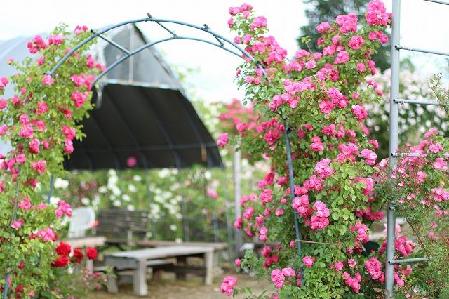 IMG_5572安曇野のバラのお宅