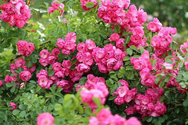 IMG_5573安曇野のバラのお宅