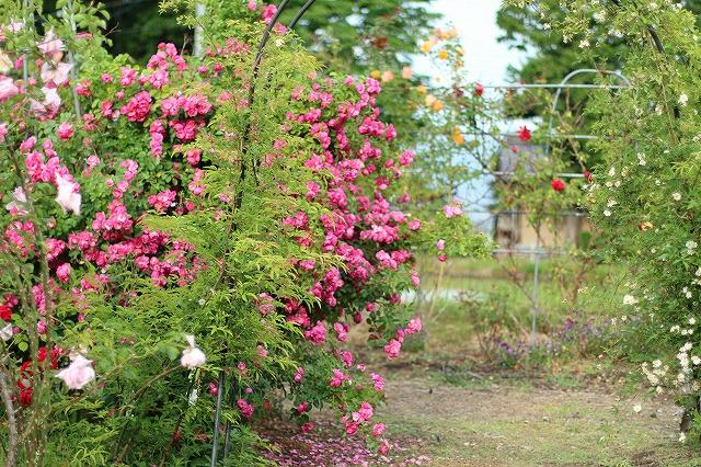 IMG_5579安曇野のバラのお宅