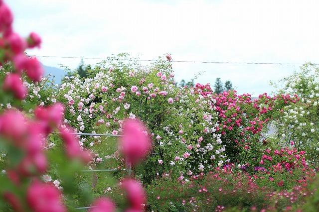 IMG_5581安曇野のバラのお宅