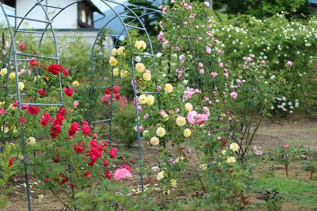 IMG_5582安曇野のバラのお宅