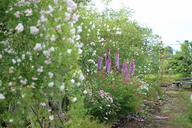 IMG_5583安曇野のバラのお宅
