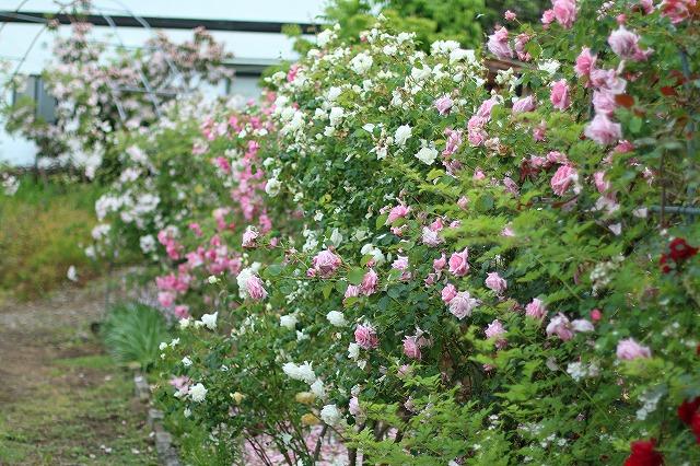 IMG_5585安曇野のバラのお宅