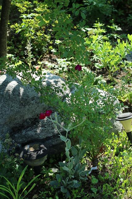IMG_6209実家の庭