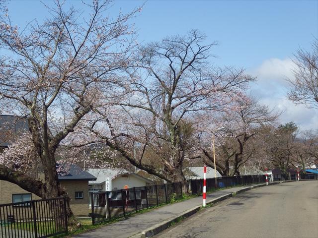 清水岱の桜_R