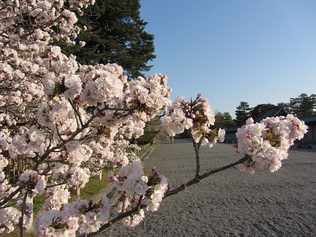 IMG_9591 車返桜