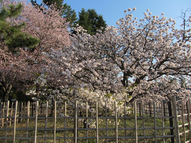 IMG_9588 車返桜