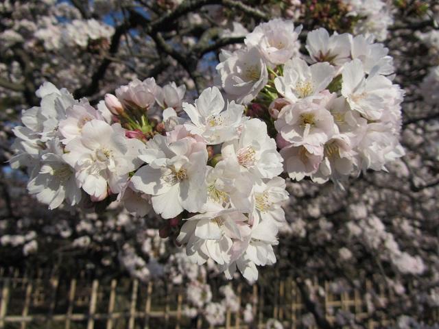 IMG_9589 車返桜