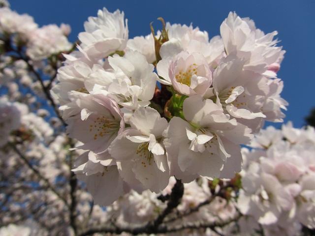IMG_9593 車返桜