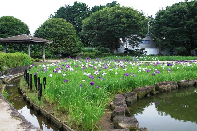 水無月園の花しょうぶ