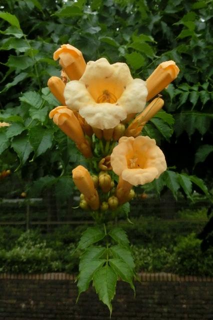 黄花ノウゼンカズラ