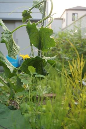 庭の野菜Ⅱ