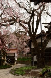 金秀寺の枝垂れ桜