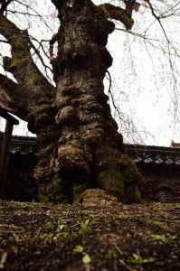 円正寺枝垂れ桜の幹