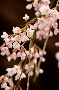 円正寺枝垂れ桜
