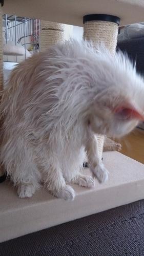 白玉猫濡れ1