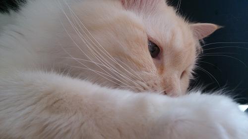白玉猫_起きる2