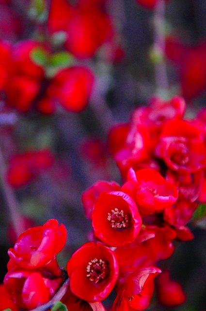 真っ赤なボケの花