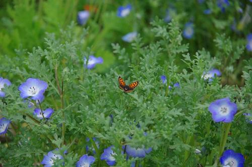 0062蝶とネモフィラ