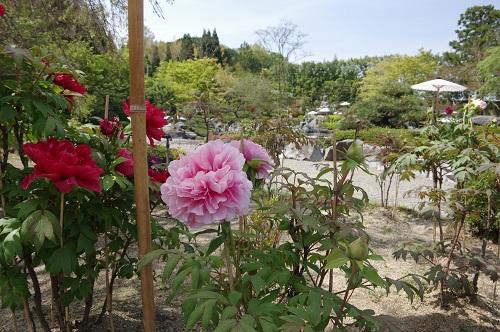 0076當麻寺奥院浄土庭園牡丹