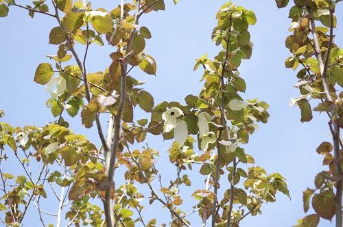 0124ハンうカチの木