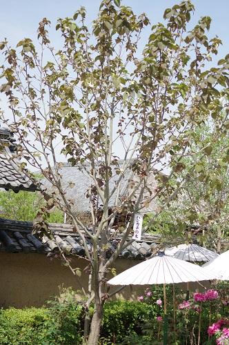 0125ハンカチの木
