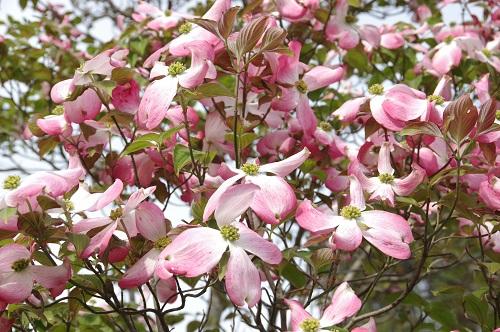 0239花水木
