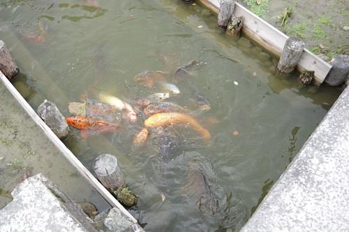 0052鯉