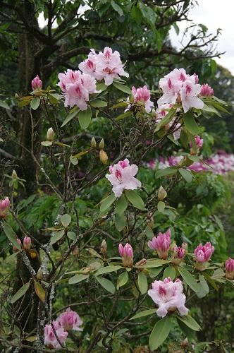 0042石楠花