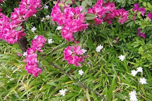 0057石楠花とシャガ