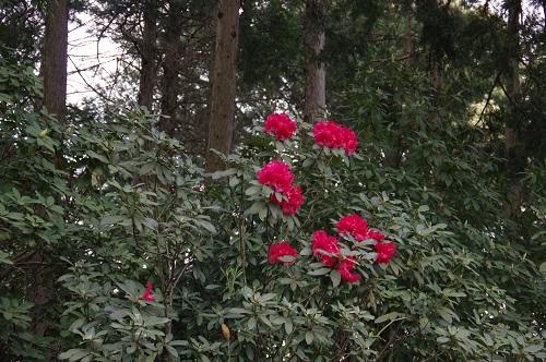 0077石楠花