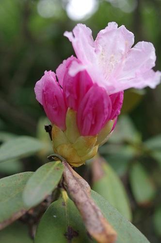 0127石楠花