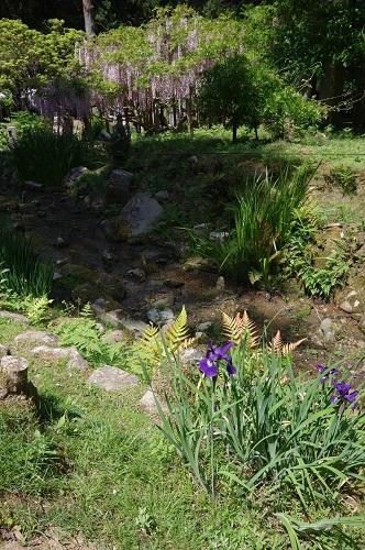 0048万葉植物園 アヤメと藤