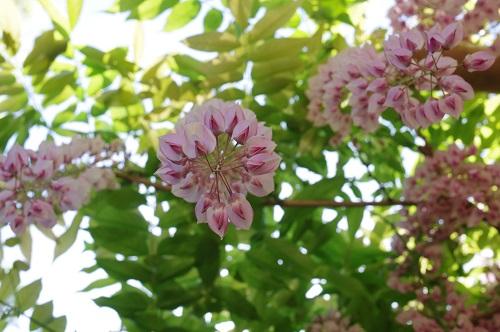 0082万葉植物園 藤