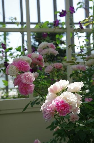 0262ジョセフィーヌの庭