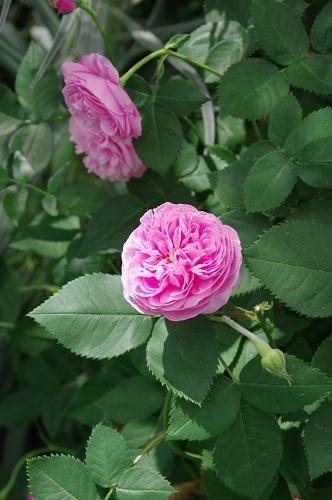 0265八重咲きのバラ