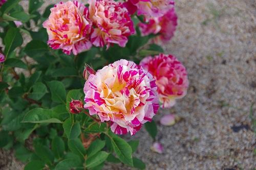 0222イングリッシュガーデン バラ