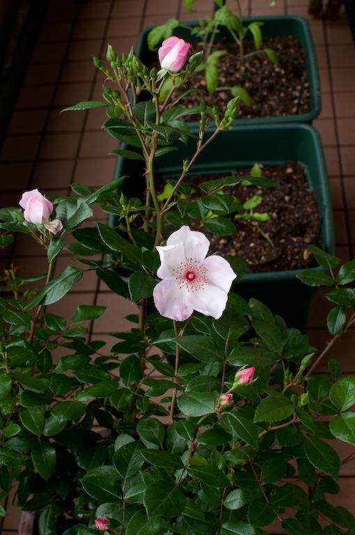 pinksakurina2015b.jpg