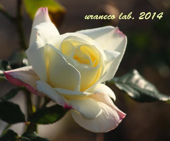 12月9日冬薔薇4