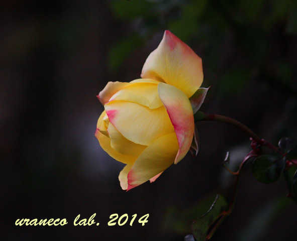 12月9日冬薔薇2