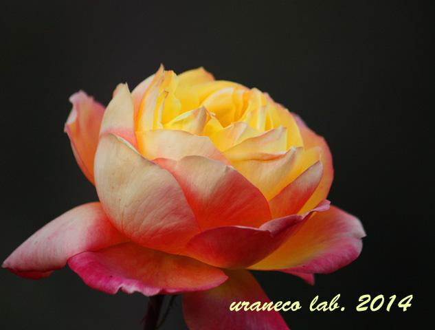 12月9日冬薔薇