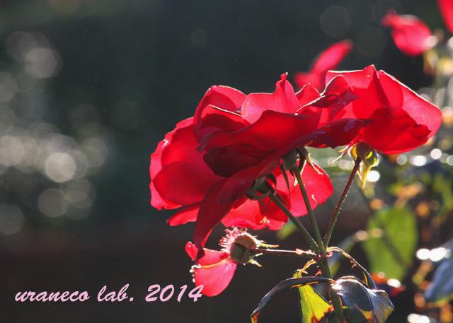 12月9日紅薔薇3
