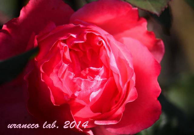12月9日紅薔薇4