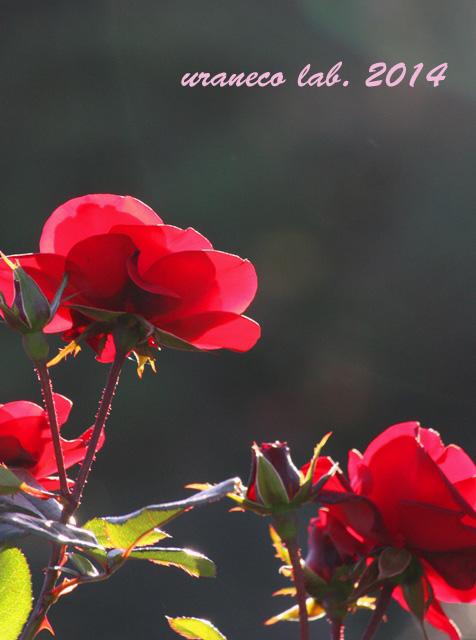 12月9日紅薔薇2