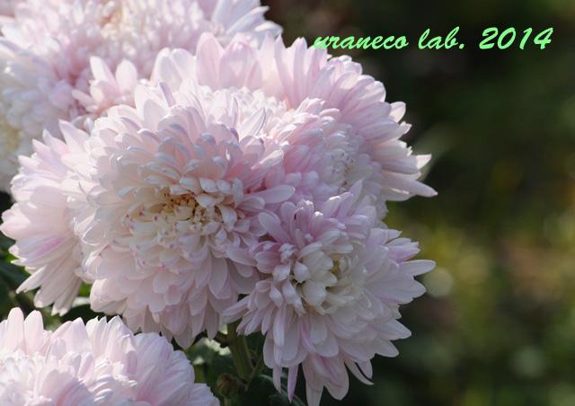 12月9日もふもふピンク洋菊