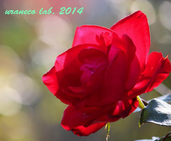 12月22日紅薔薇