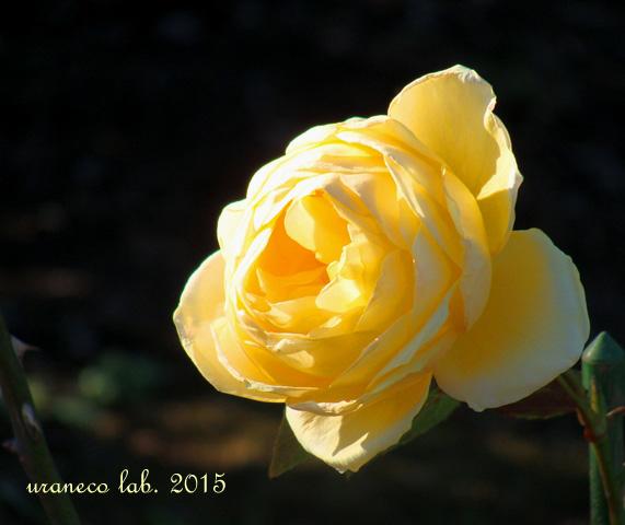 1月7日黄薔薇