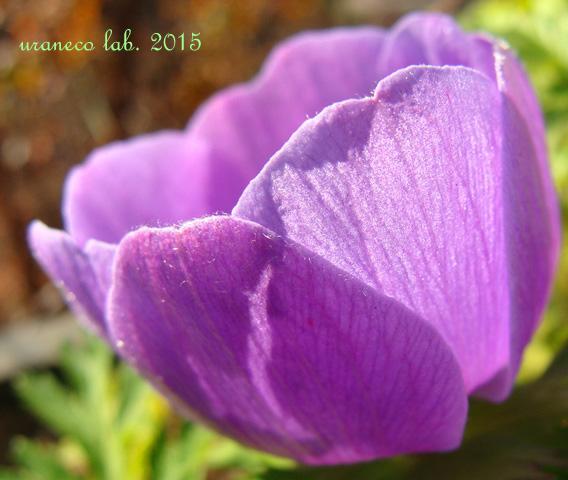 1月19日アネモネ紫