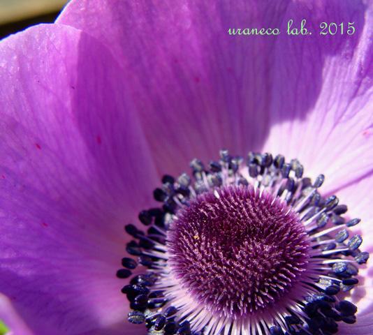 1月19日アネモネ紫3